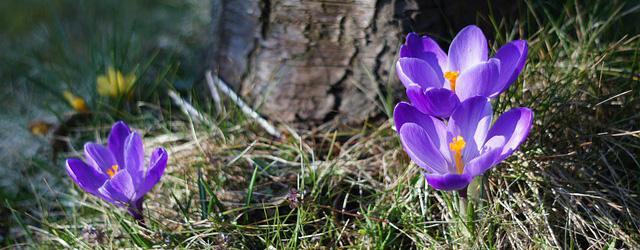 Ledige tider i april - billede af krokus